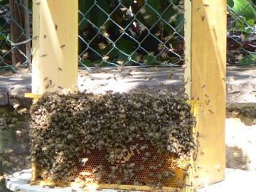 Bienen reinigen die Waben